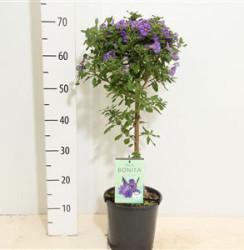 Solanum Rantonnetii 80 см