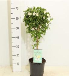 Solanum Rantonnetii Charles White 80 см