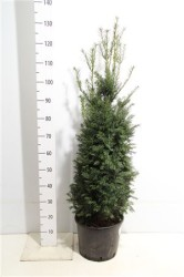 Taxus Baccata 100 см