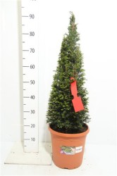 Taxus Baccata 70 см