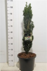 Taxus Baccata 'fastigiata Robusta' 80 см
