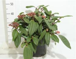 Viburnum Davidii 40 см