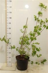 Калина обыкновенная Poзеум'roseum' 60 см