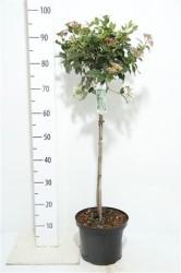 Viburnum Tinus 70 см