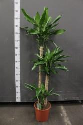 Драцена стоиднери  150 см