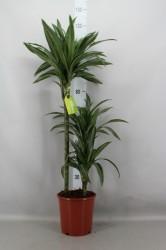 Драцена фрагранс улизес 110  см
