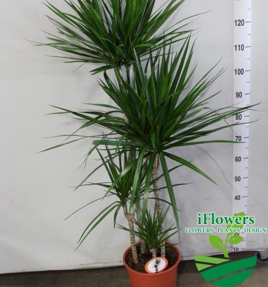 Драцена маргината 160 см