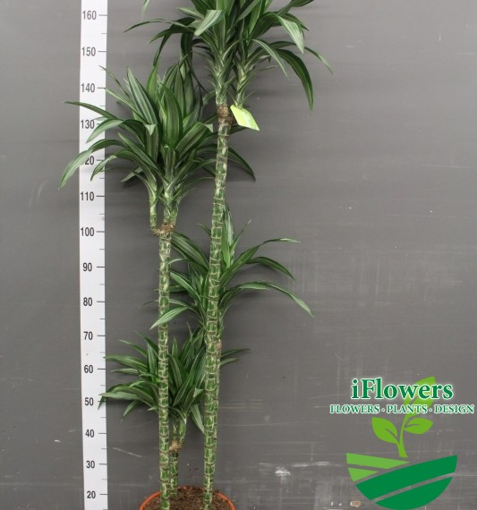 Драцена фрагранс улизес 180 см