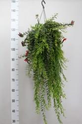 Эсхинантус подвесной 45 см