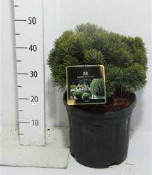 Pinus Mugo 'march' 40 см