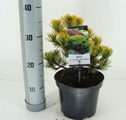 Pinus Mugo 'winter Gold' 30 см