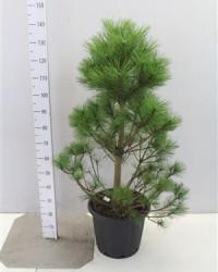 Pinus Nigra Nigra 100 см