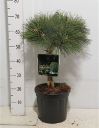 Pinus Nigra 'brepo' 60 см