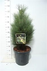 Pinus Nigra 'green Tower' 70 cм