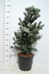 Pinus Parviflora 'negishi' 50 см