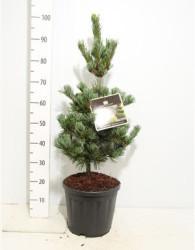 Pinus Parviflora 'tempelhof' 60 см