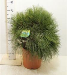 Pinus Wallichiana 50 см