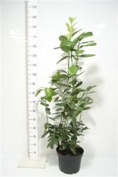 Prunus Laurocerasus 'novita' 100 cм