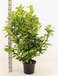 Prunus Laurocerasus 'rotundifolia' 100 см