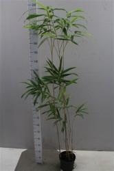 Pseudosasa Japonica 150 см