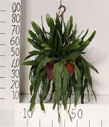 Леписмиум houlletianum 58