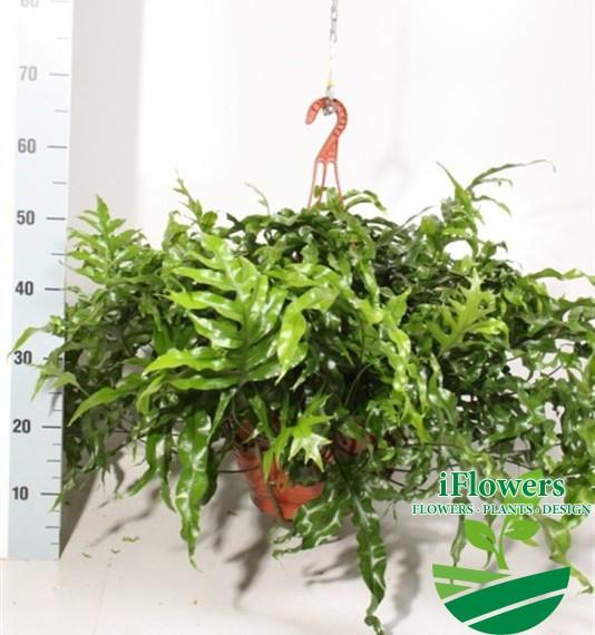 Папоротник diversifolium_62