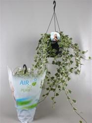 Плющ обыкновенный overig bont (Air so pure) 44