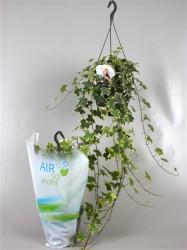 Плющ обыкновенный overig bont (Air so pure) 45