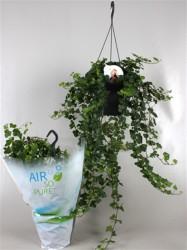 Плющ обыкновенный overig groun (Air so pure) 46