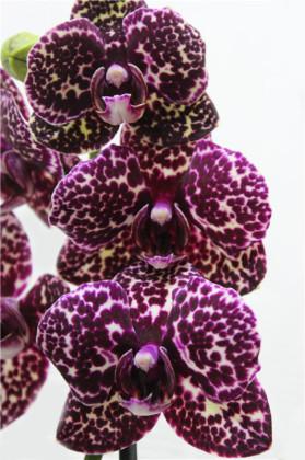 Орхидея Дикий Кот