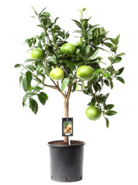 Грейпфрутовое дерево