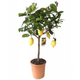 Лимонные деревъя