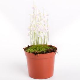 растение пузырчатка