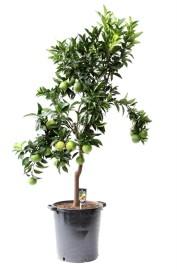 Взрослое апельсиновое дерево