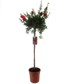 Каллистемон растение
