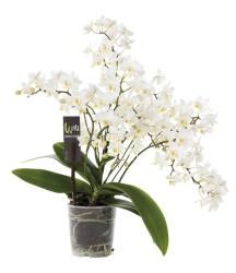 дикая орхидея, белая