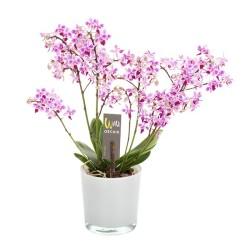 дикая орхидея (розовая)