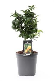 мандариновое дерево 45см