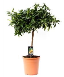 растение кумкват 85см