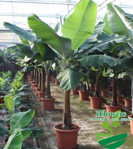 Цветок банановое дерево фото