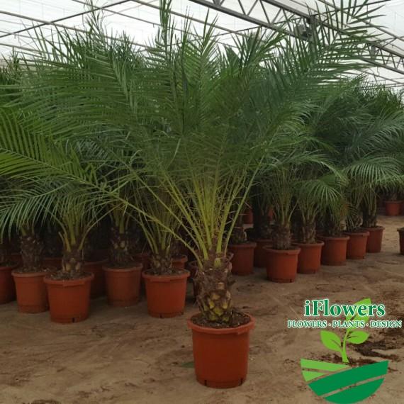 Фикиновая пальма 175см
