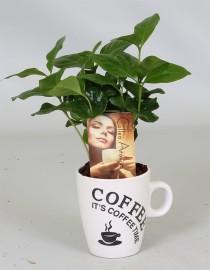 Кофейное дерево в чашке