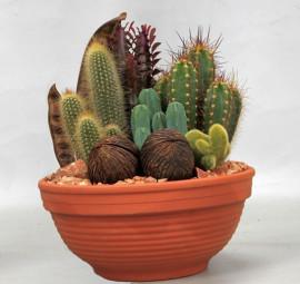 Композиция из кактусов в глиняном горшке
