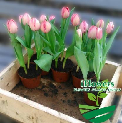 Тюльпаны в горшках