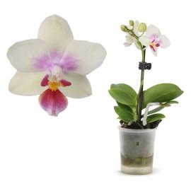 Леди мини орхидея