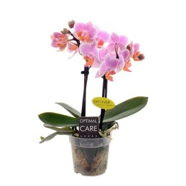 мини орхидея Фенна