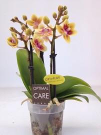 тесс мини орхидея