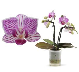Лотте мини орхидея