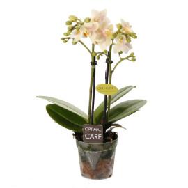 Сара мини орхидея