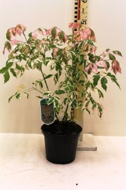 Клен ясенелистный Фламинго 45см